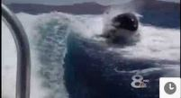Amazing Video : School of Killer Whales chase Speed Boat
