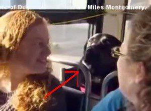 bus riding labrador
